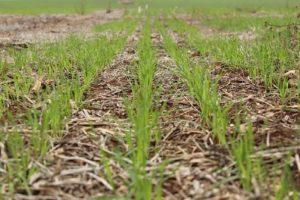 plantio-trigo-e-semeadura